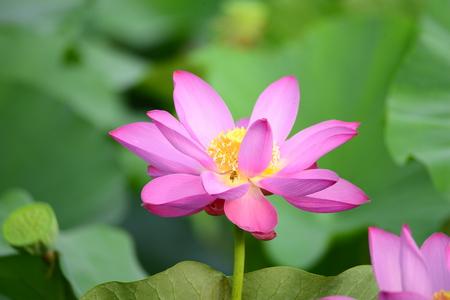 lotus close up view