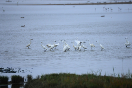 egrets: egrets in the water