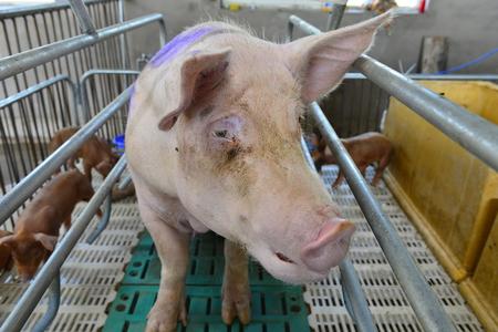 lactation: The farm pigs