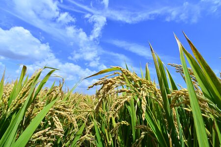 Close up view of paddy plant in the field Stock Photo