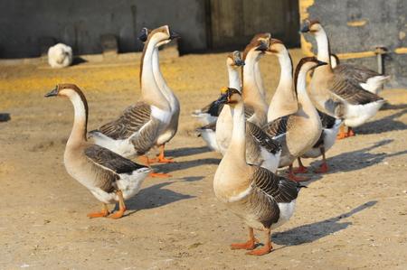 domestication: goose in a farm