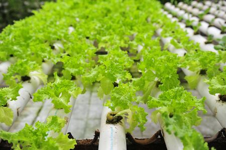 Soilless cultivation of greenhouse lettuce