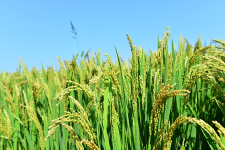 Nature landscape view of a paddy field Stock Photo