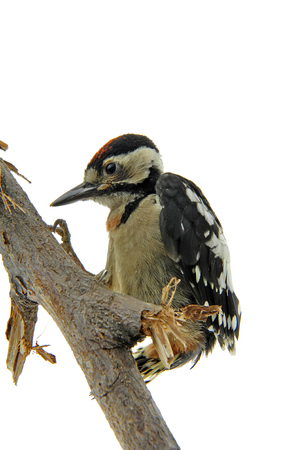 woodpecker close up view