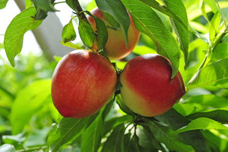 Ripe peaches hanging in a tree  Stock Photo