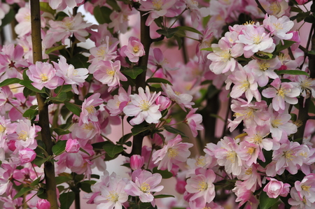 Chinese flowering crab-apple blooming 스톡 콘텐츠