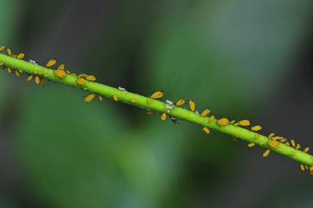 aphids Standard-Bild