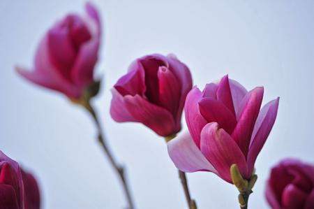 マグノリアの花が咲く 写真素材 - 98524290