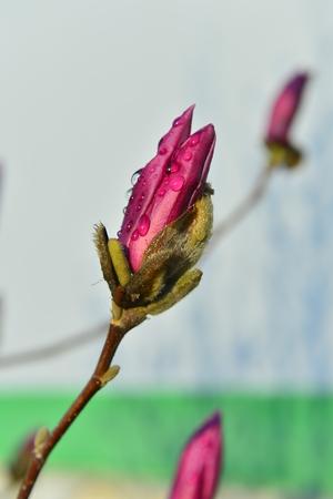 The magnolia blomming