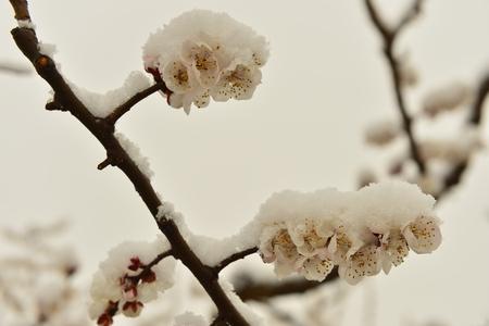 apricot flowers Stockfoto