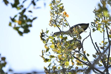 Grey herons on tree