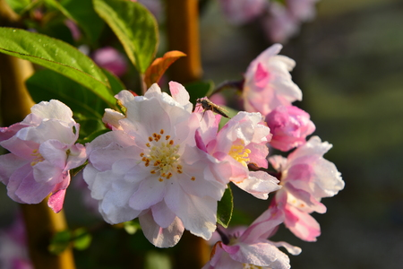 Chinese flowering crab-apple in spring