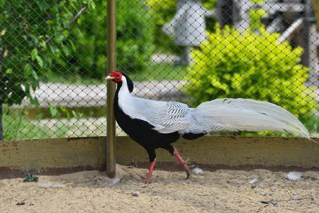 Beautiful silver pheasant Stock Photo