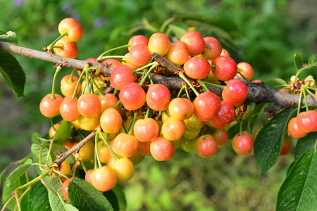 The ripe cherries are on the tree 版權商用圖片 - 102399887