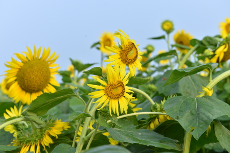 Sunflowers in the field Banque d'images - 105991198