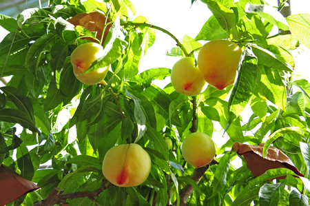 Ripe peaches hanging on tree Фото со стока
