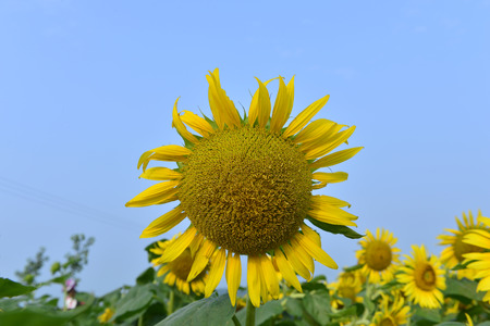 Sunflowers in the field Banque d'images - 106684793
