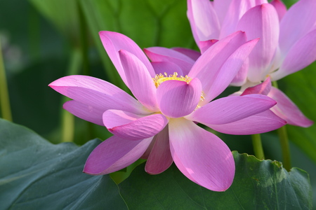 Blooming lotus flowers in the park