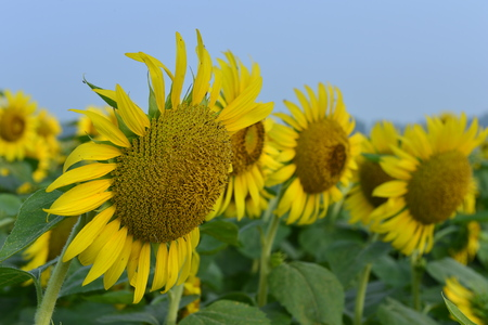 Sunflowers in the field Banque d'images - 107202547