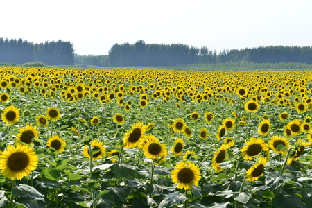 Sunflowers in the field Banque d'images - 107566046