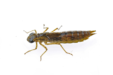 Dragonfly larvae isolated in the white Archivio Fotografico