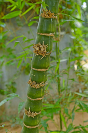 Tropical green bamboo Фото со стока