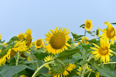 Sunflowers in the field Banque d'images - 112444435