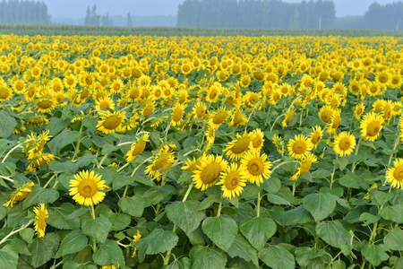 Sunflowers in the field Banque d'images - 112444839