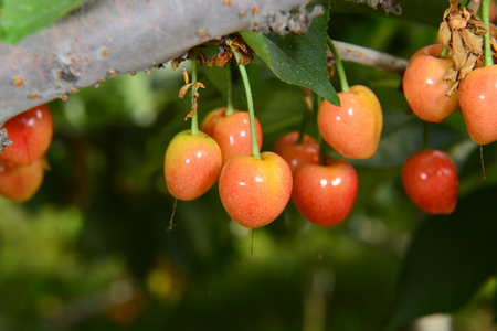 The ripe cherries are on the tree