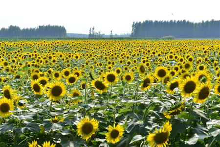 Sunflowers in the field Banque d'images - 112962682