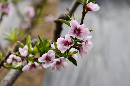 peach blossom Foto de archivo