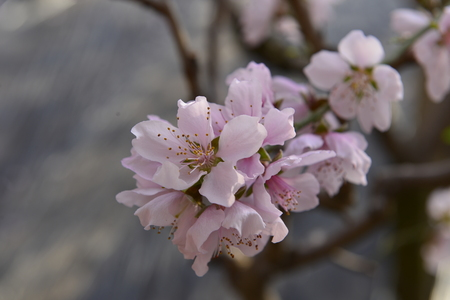 In full bloom in the peach blossom 免版税图像