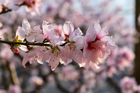 full bloom of peach blossom Фото со стока