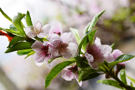In full bloom in the peach blossom Zdjęcie Seryjne