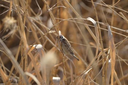 The sparrow in the reeds Banco de Imagens