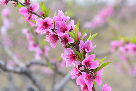 full bloom of peach blossom