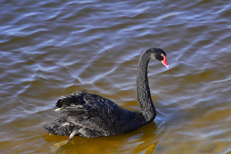 The black swan in the park