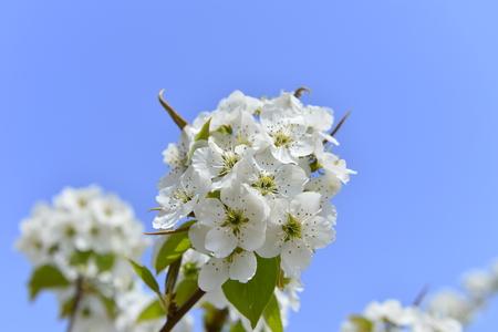 Pear flower in full bloom in spring Archivio Fotografico
