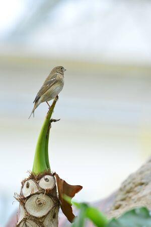fringillidae bird  in the park