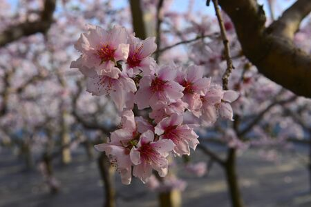 full bloom of peach blossom Foto de archivo