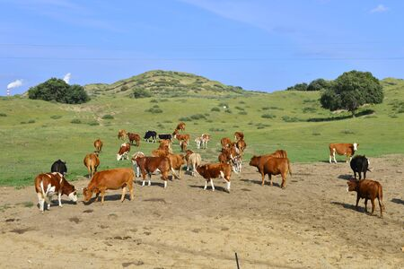 Cattle herd of the grasslands