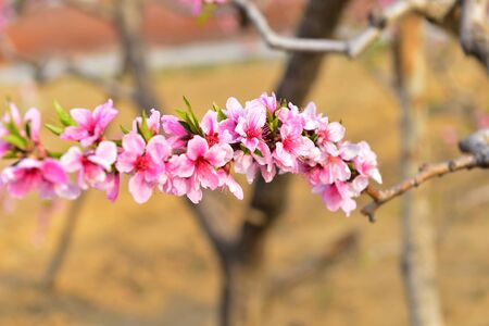 full bloom peach blossom