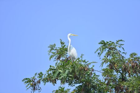 White stork in the natural environment