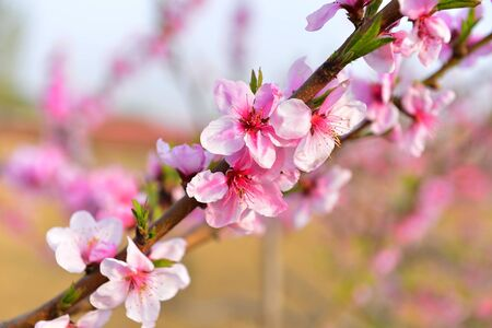 In full bloom in the peach blossom 写真素材