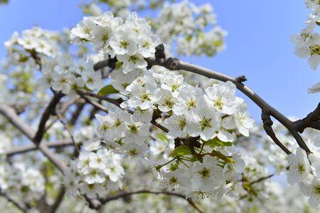 Pear flower in spring