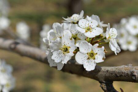 Pear flower in full bloom in spring