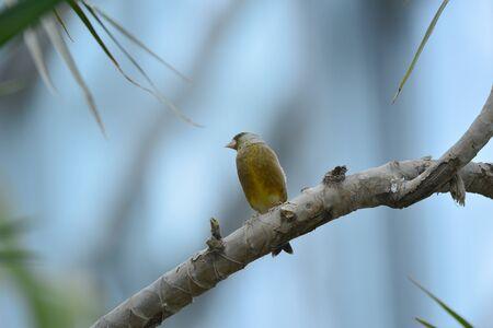 The outdoor fringillidae birds in the park Imagens