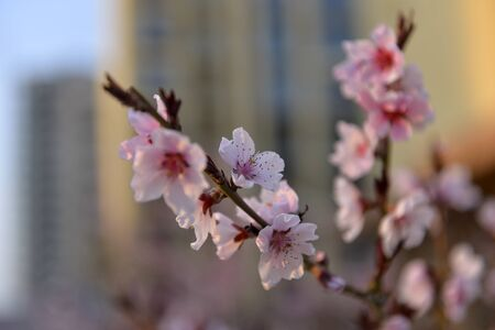 In full bloom in the peach blossom Imagens