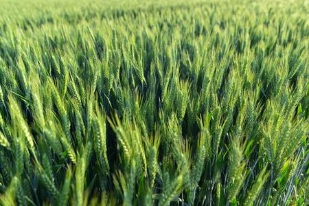 Wheat in the fields, green Imagens - 148948908