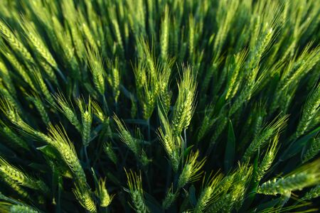 Wheat in the fields, green Imagens - 148948899